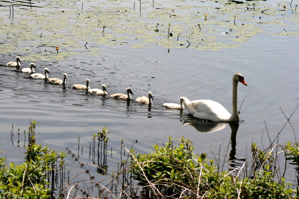 Line of baby swans following mother