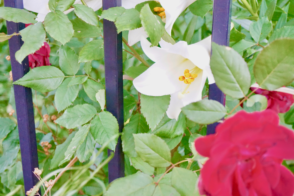 white and red flowers 5.14.20