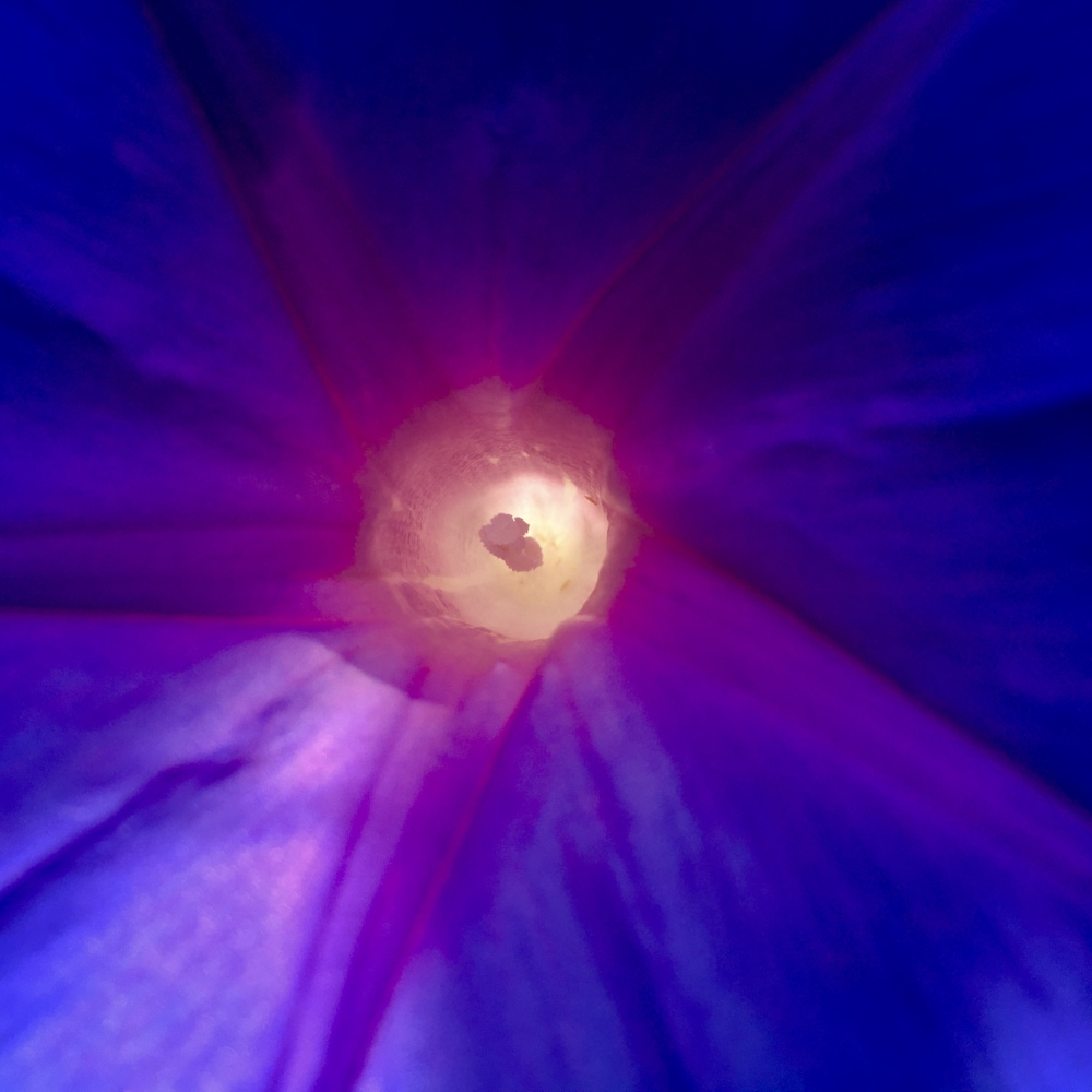 purple morning glory 5.20.20