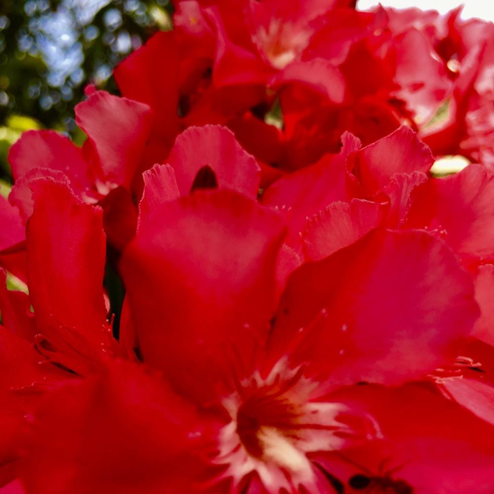 red flower 5.27.20