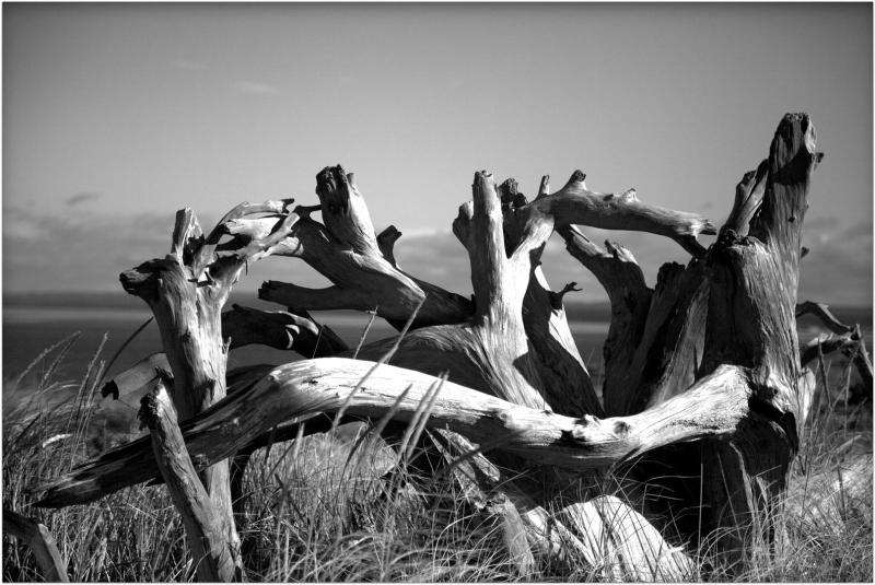 Tangled Driftwood