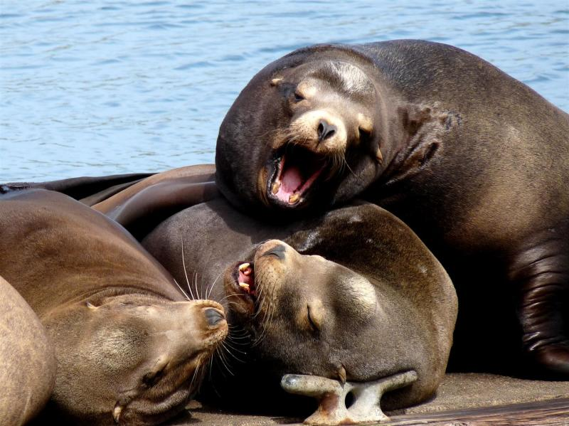 Sea Lions at rest  -  Sea Lion series 1 of 3