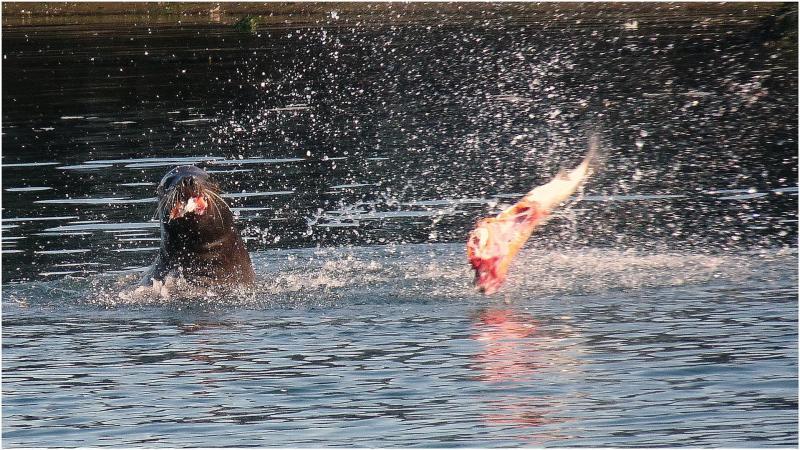 Dispatching a Salmon