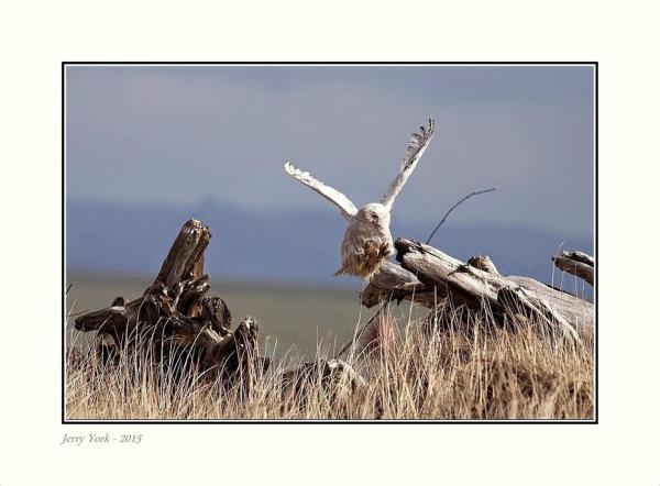 Snowy Owl - landing