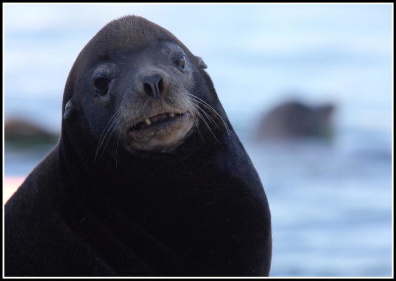 Sea Lions - A protected species in the USA