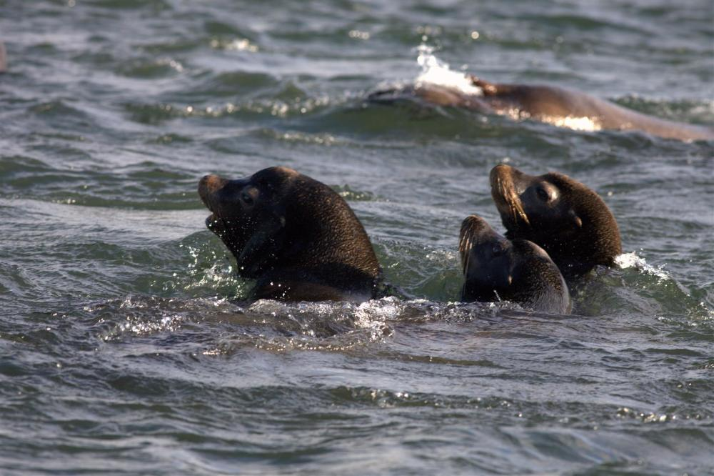 Upset Sea Lions
