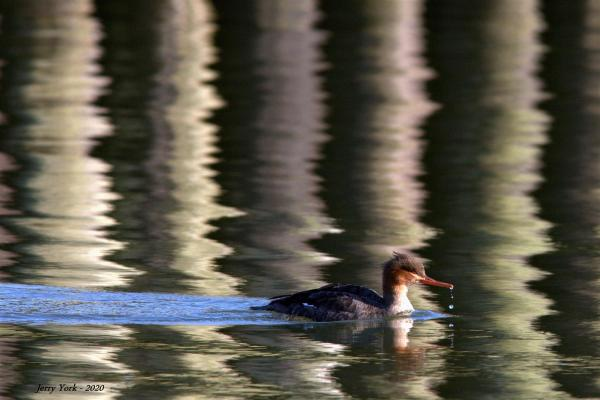 Dribble Duck