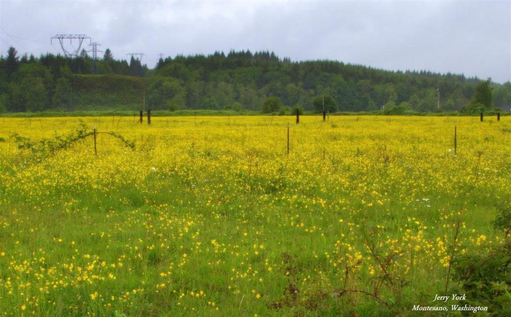 Field of yellow on a rainy day