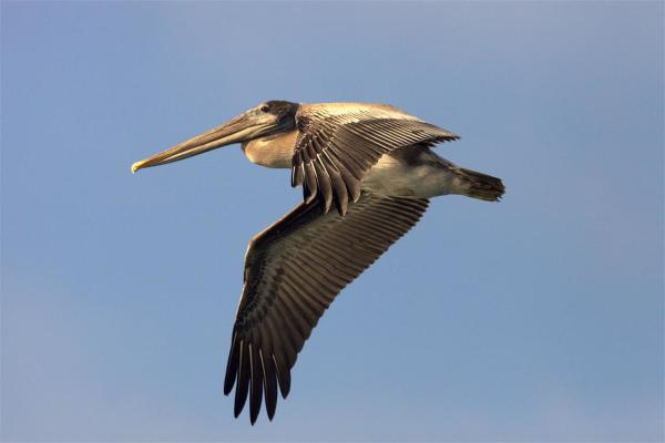 Pelican @ Westport