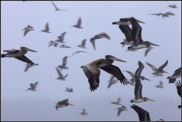 Pelicans everywhere