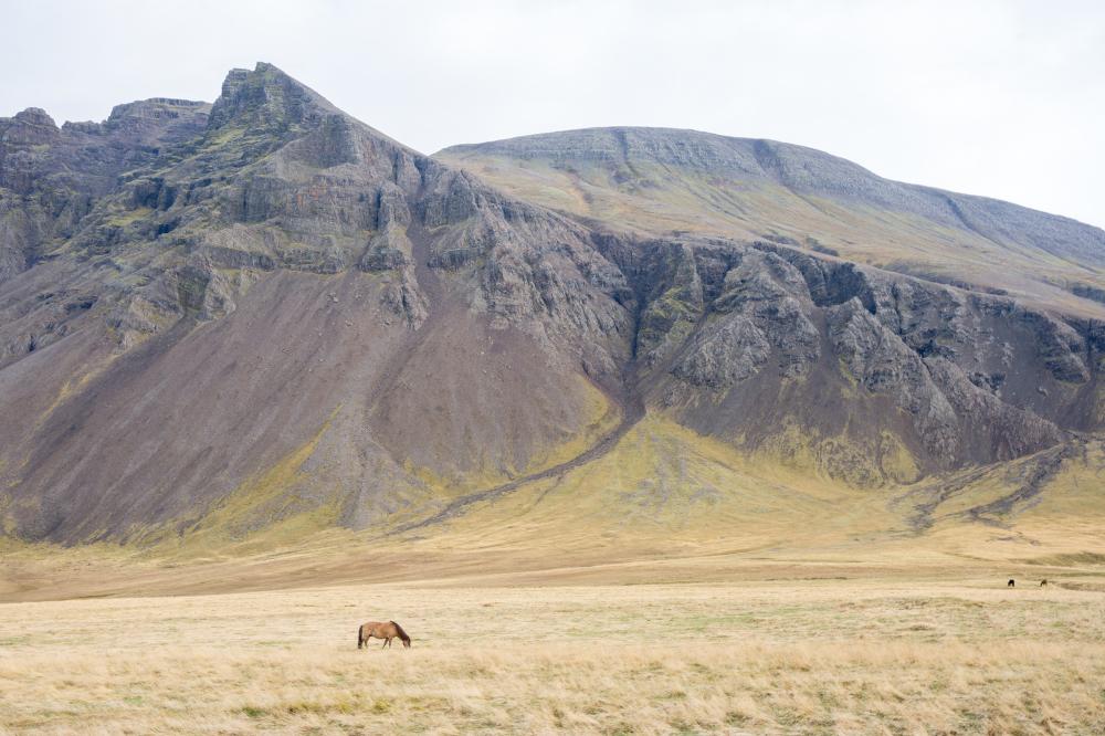 Icelandic ponies 1