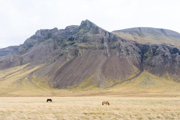 Icelandic ponies 2