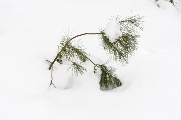 White pine 6