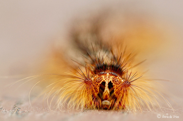 Caterpillar Gypsy moth