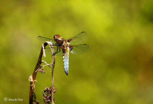 Broad-bodied chaser ♂