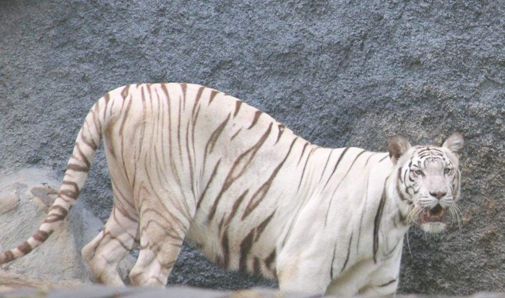 Indian Bengal White tiger