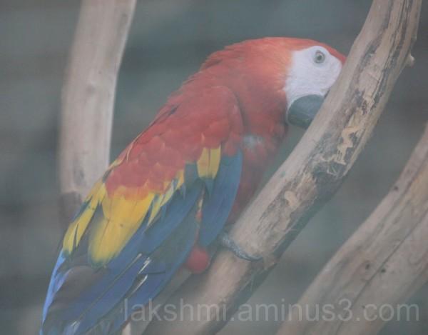 Scarlet Macaw?