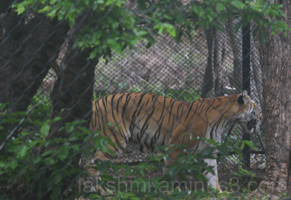 Indian Bengal Tiger