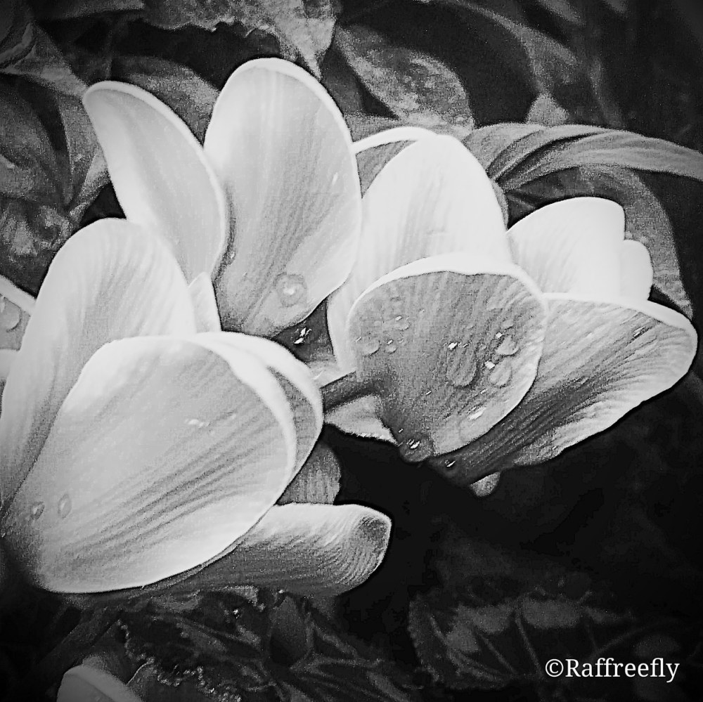 Black & white by ©Raffreefly