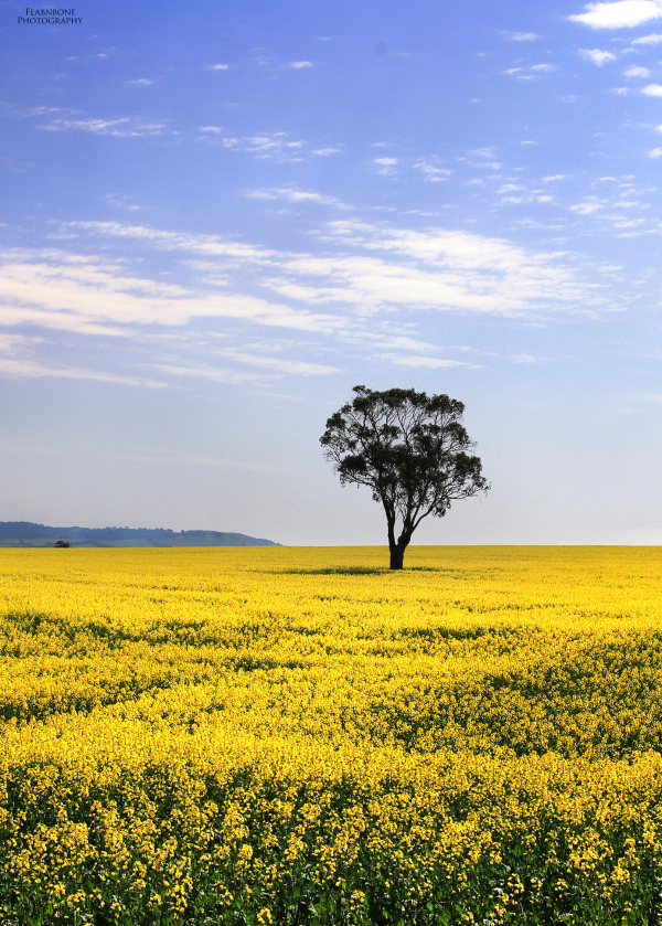 Canola season in Melbourne with lone tree