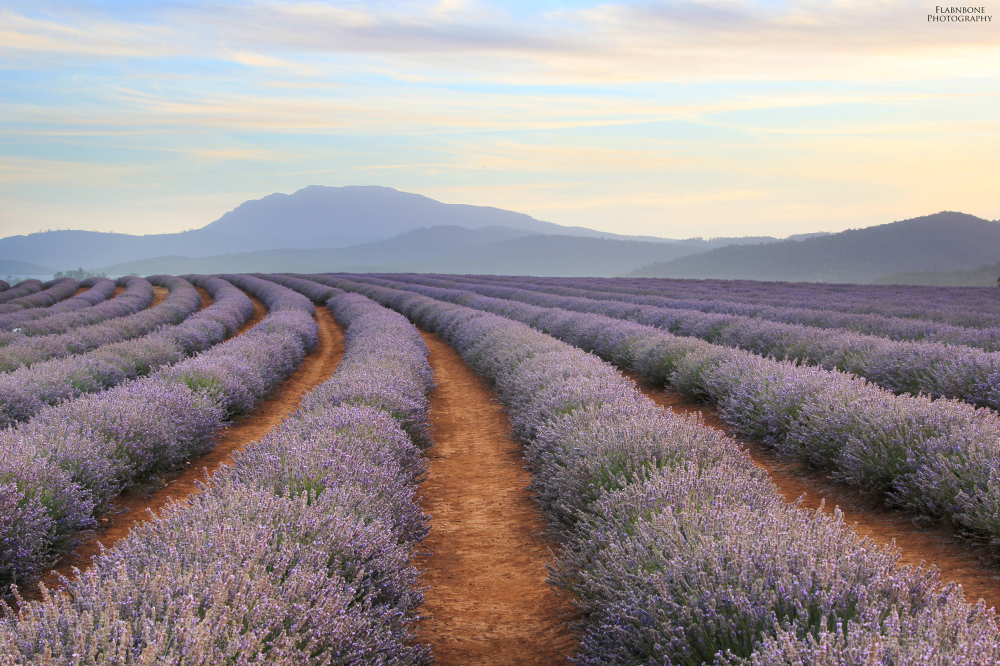Sunset at Bridestowe Lavender Farm - Tasmania.