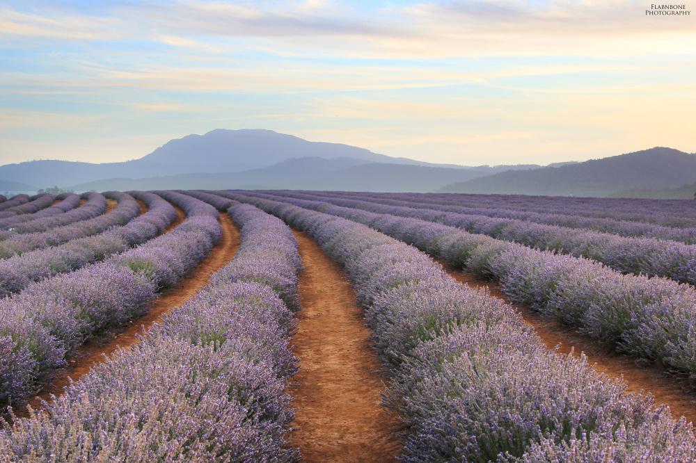 Sunset at Bridestowe Lavender Farm - Tasmania.