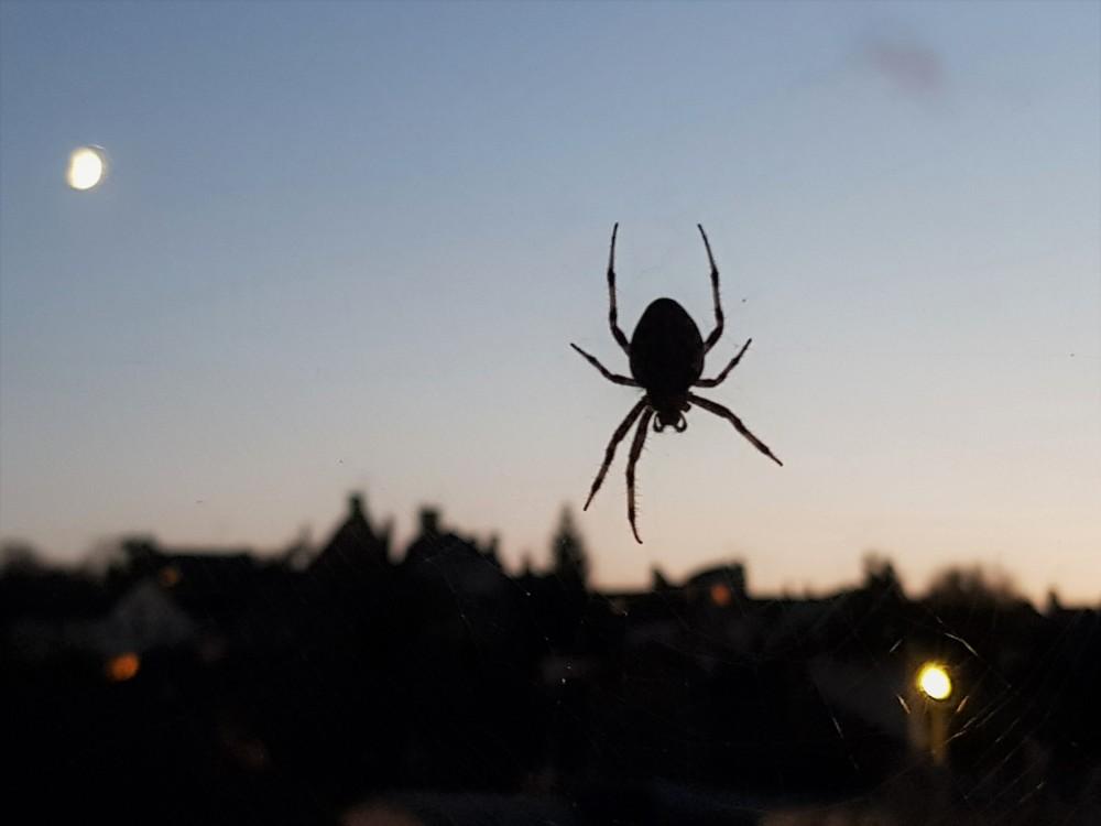 Ma voisine l'Épeire diadème à la tombée de la nuit