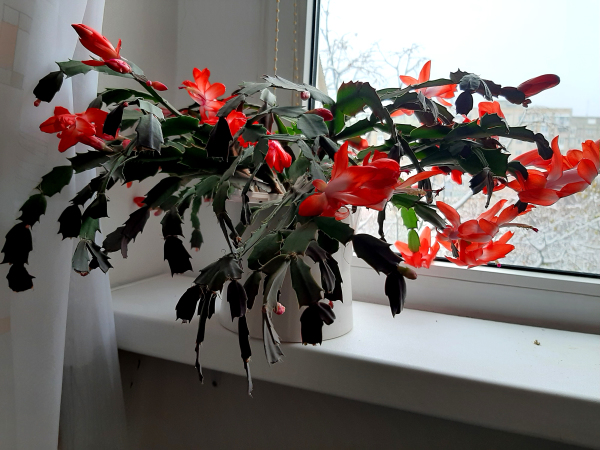 Advent 23 My Christmas Cactus - Schlumbergera