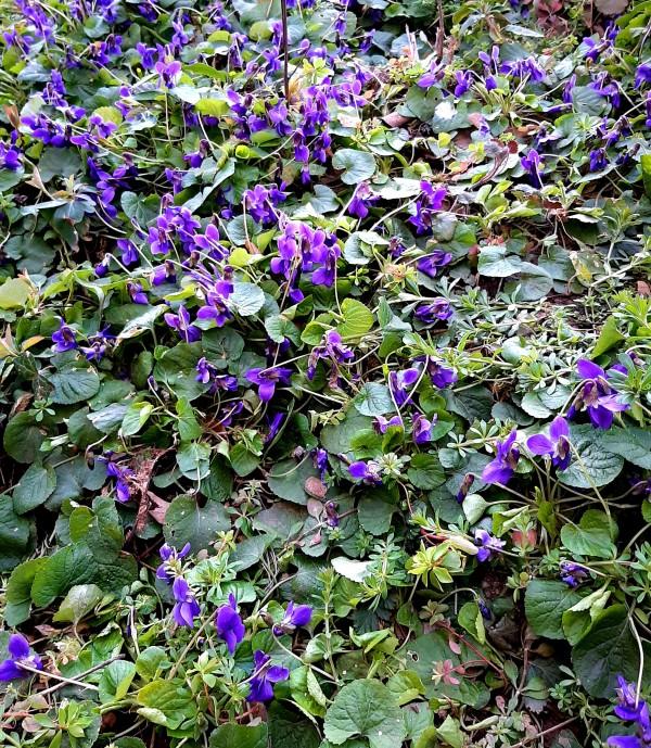 Purple Springtime