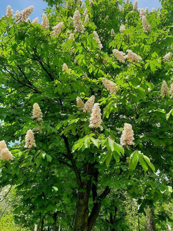 Horse Chestnut Tree In Blossom