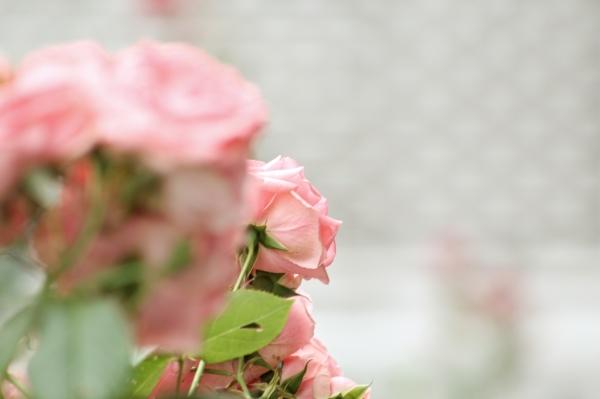 Une rose rose....