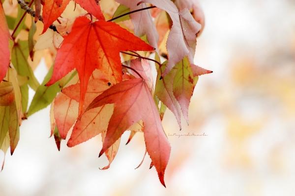 les dernières , dernières feuilles ....