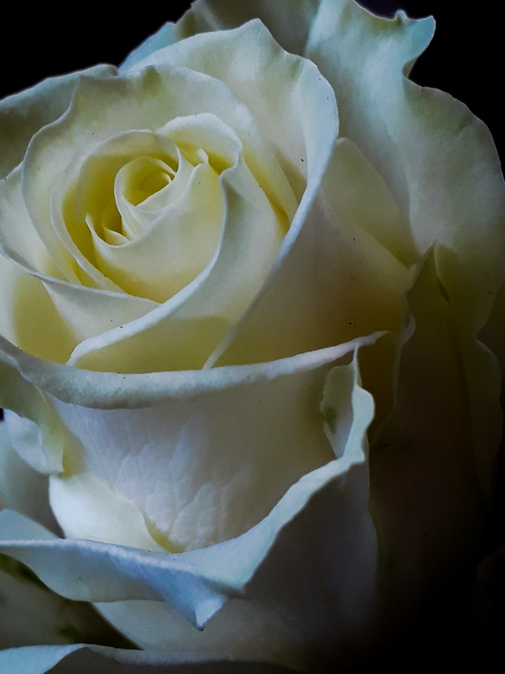 A Rose of love and hope