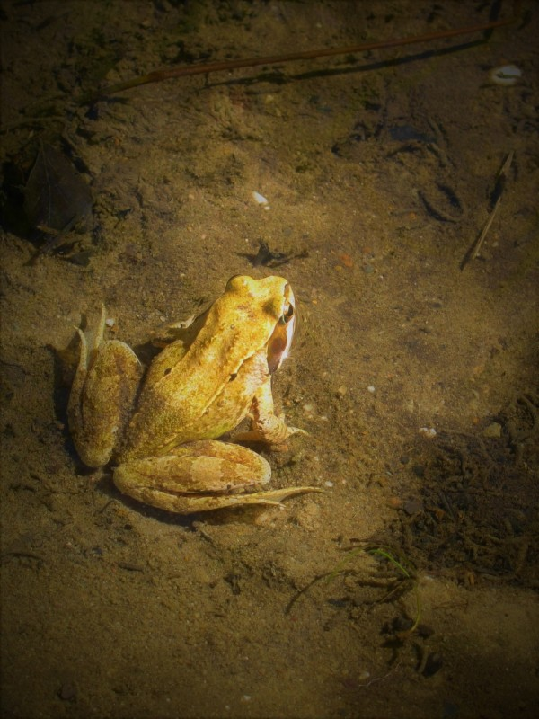 Frog, Nature, The Netherlands