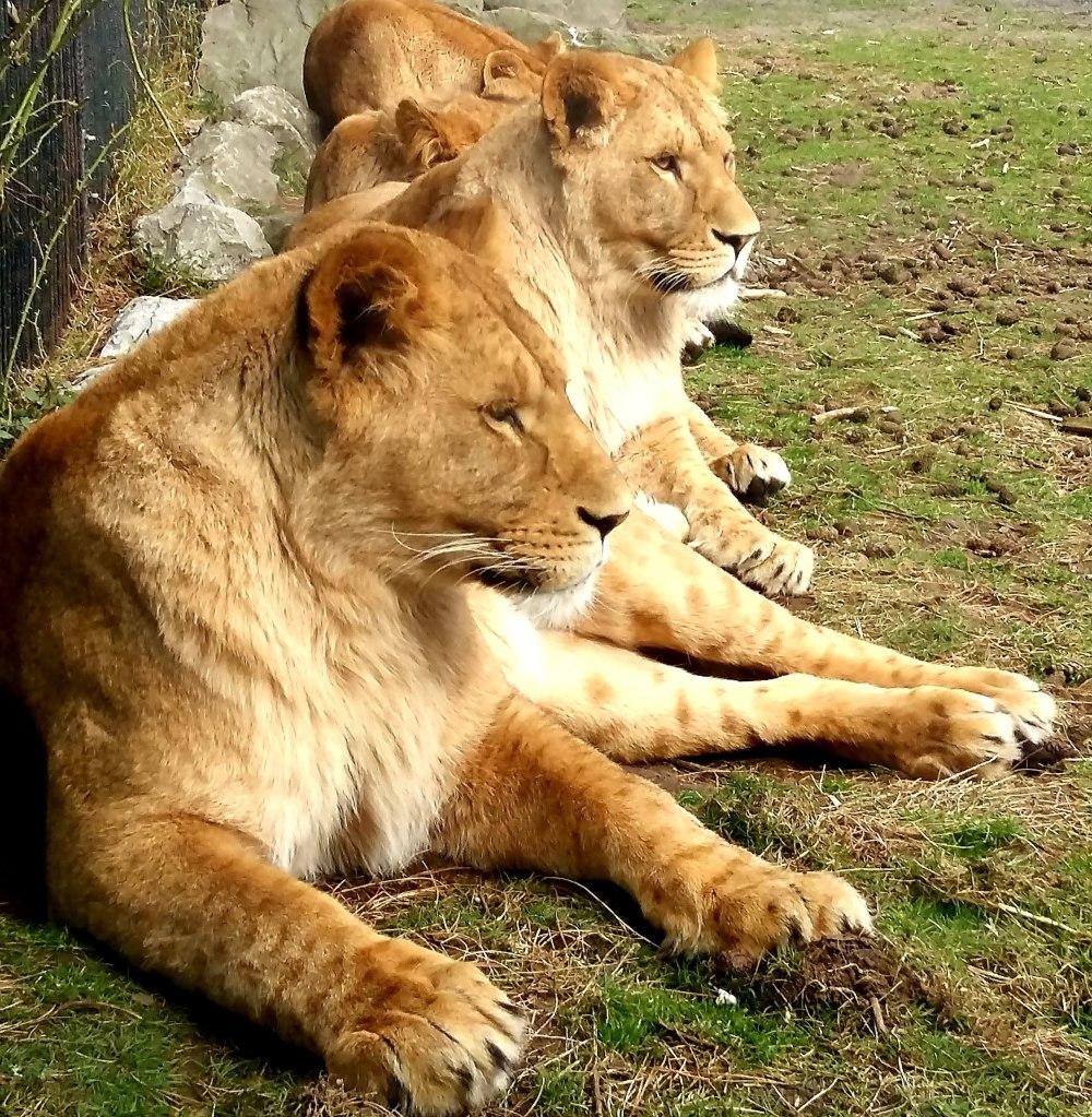 Lions Beekse Bergen Zoo