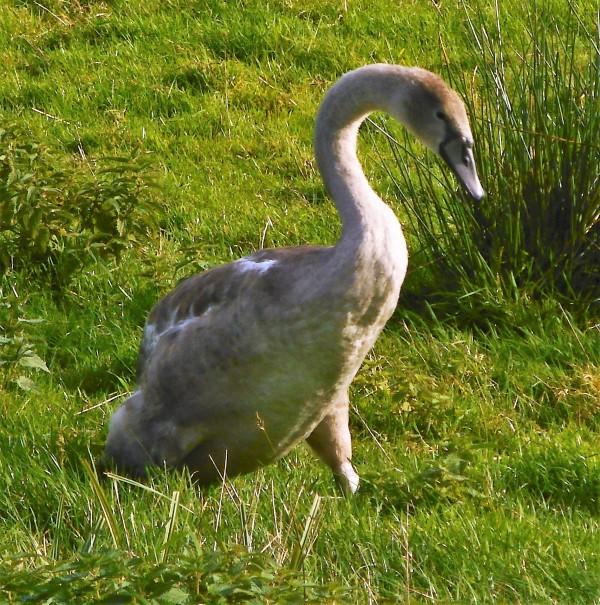 Swan taking a moring walk