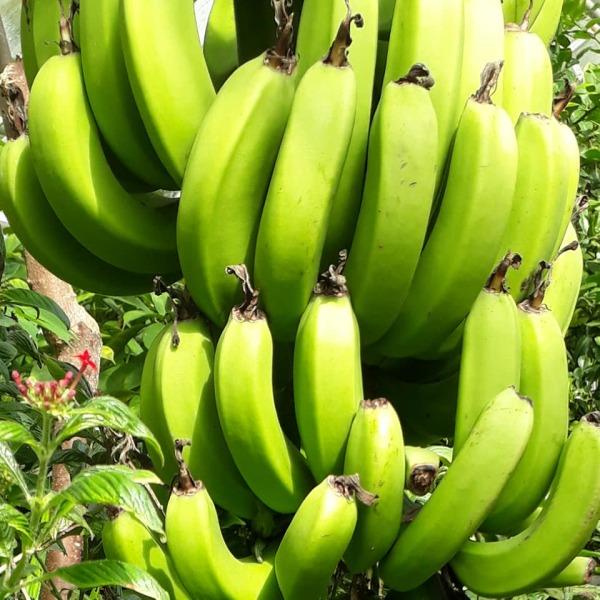 Let's go bananas