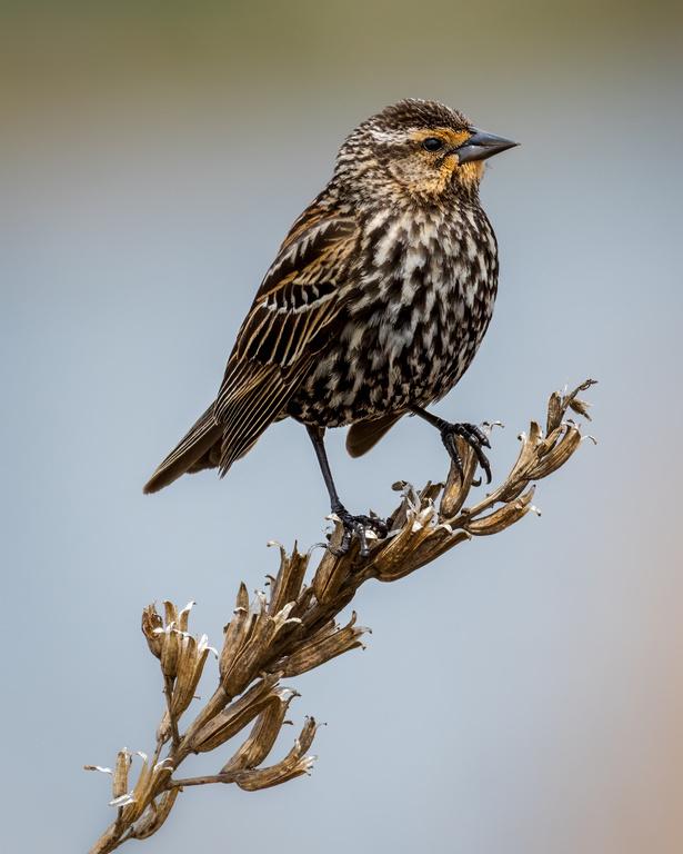 Red-winged Blackbird, Bird, Wildlife, Quequechan
