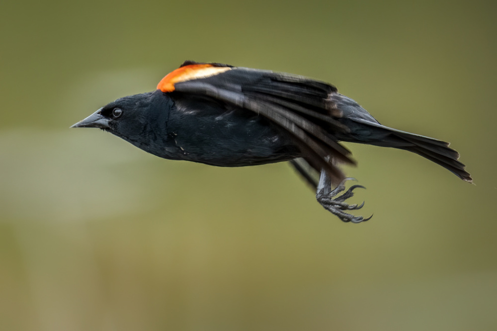 A flying red-winged blackbird