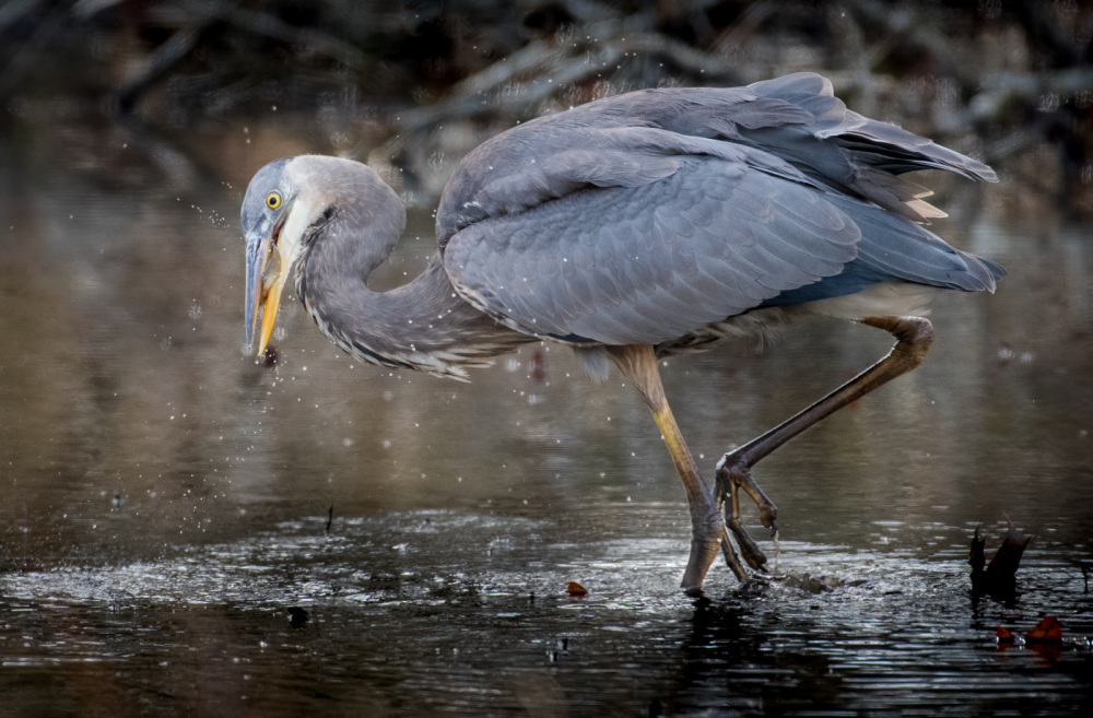 A great blue heron catches a small fish.