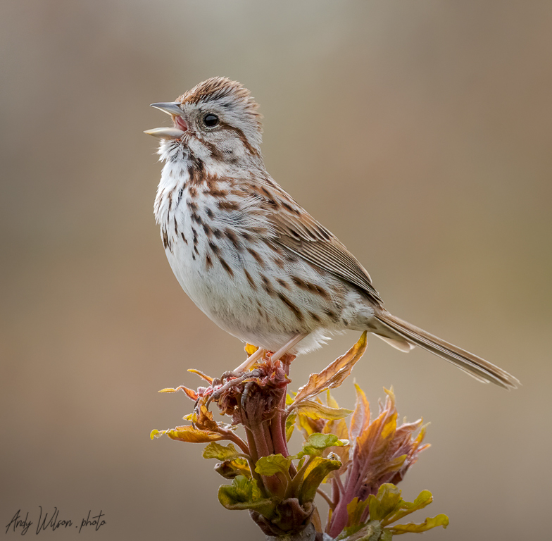 Sing Song Sparrow