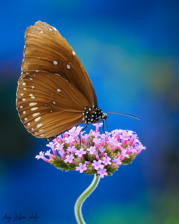 Common crow butterfly on a flower