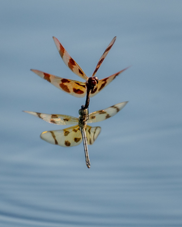 Dragonflies in a mating ritual.