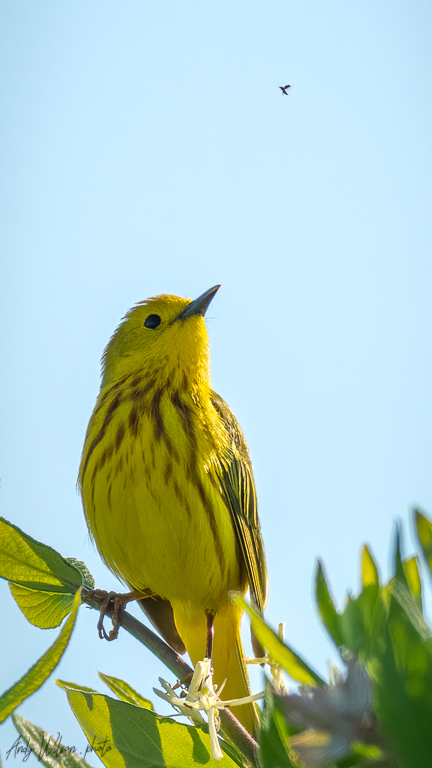 A yellow warbler sees a flying insect.