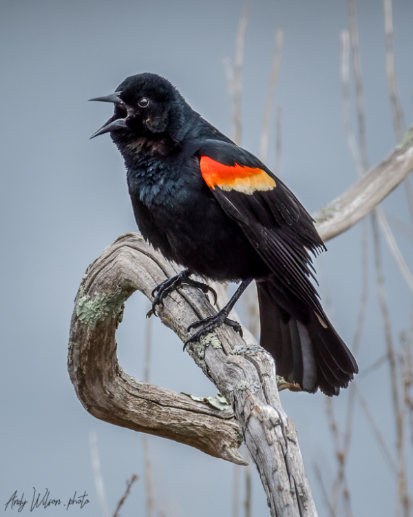 A male red-winged blackbird calling.