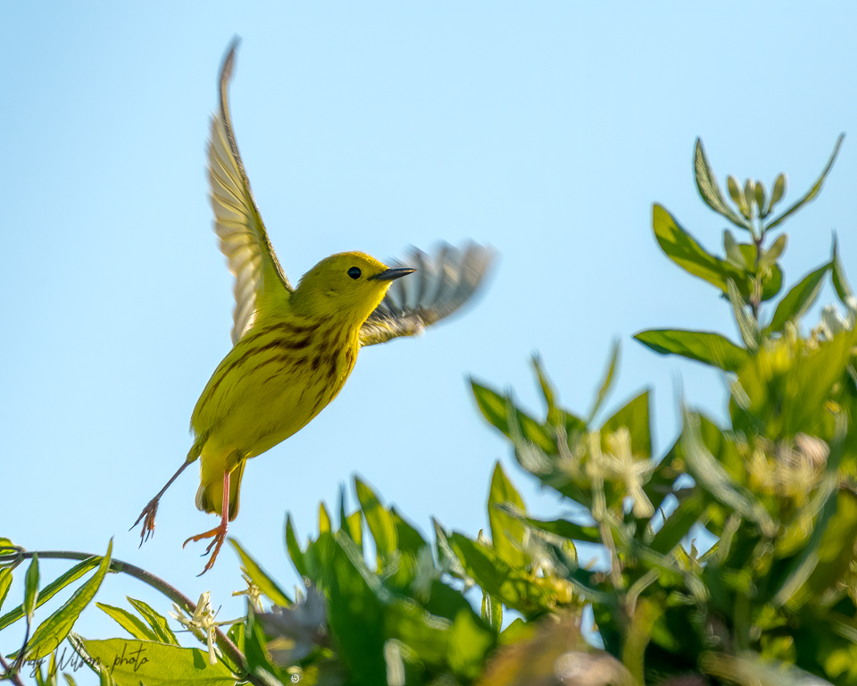Yellow Warbler Flies Away