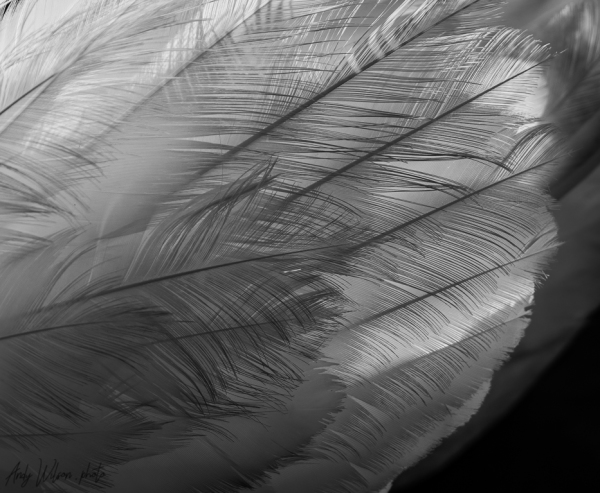 Backlit feathers of a mute swan.