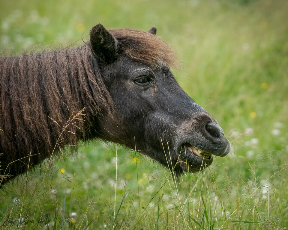 A small horse named Buddy enjoys the tall grass in