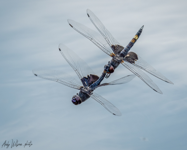 Mating pair black saddlebag skimmer dragonflies.
