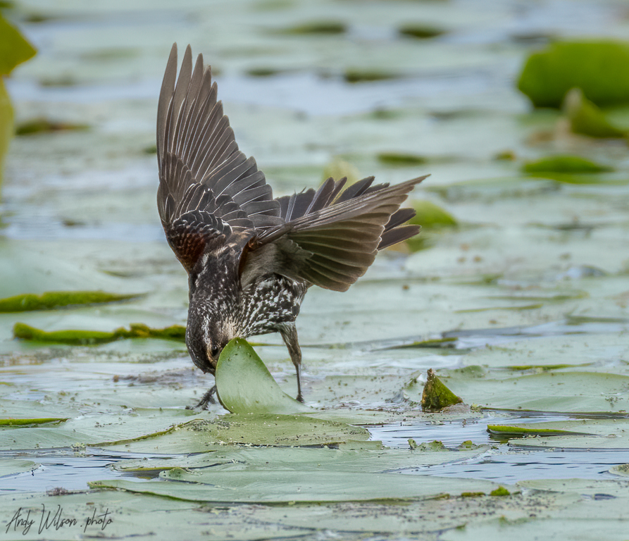 Red-winged blackbird lifts a lilypad